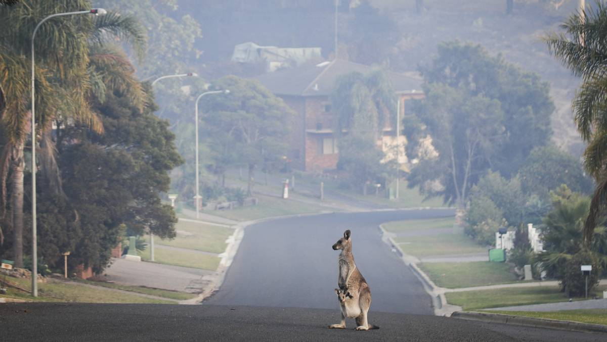 A kangaroo on Wildlife Drive in Tathra during the March 18 bushfire. Picture: Alex Ellinghausen